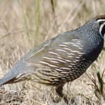 CA: Proposed Upland Lead Shot Ban