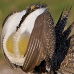 Enviros Sue for Federal Sage Grouse Protection