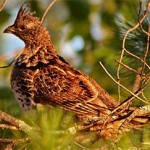 2010 Compiled Ruffed Grouse Forecast
