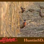 Helped By Bad Weather, SD's Pheasants Above 10-Yr Average