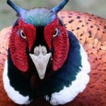 Check Out These 5 Crazy Pheasants!