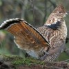 New England Grouse Looking…Okay?