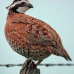Drought Not All Bad News for Quail