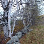 Old stone wall in the former apple orchard....