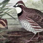 Bobwhite Conservation Officially 'Inadequate'