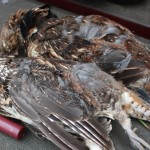 Field Report: MN Grouse Hunts