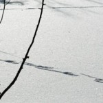 Cuttin' tracks.... (Jeff Laberge photo)