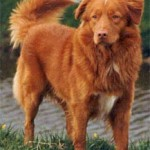 What Do You Know About Tollers?