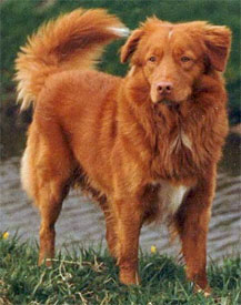 Toller_completedogsguidecom