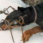 Hunting Dogs Being Killed in Traps
