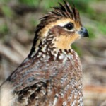 Kansas Investing in Quail